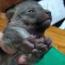 Continúan los rescates: Un zorro bebé y una lechuza atrapados en los incendios forestales