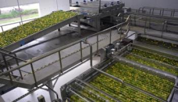 Inversión y trabajo: Comenzó la cosecha de limones en Ledesma